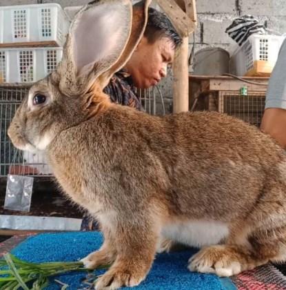 Harga Dari Jenis Kelinci Giant